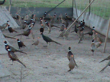 Ring Neck Pheasants, www.woodschukars.com