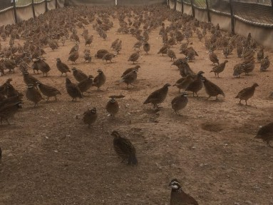 Bowhite quail